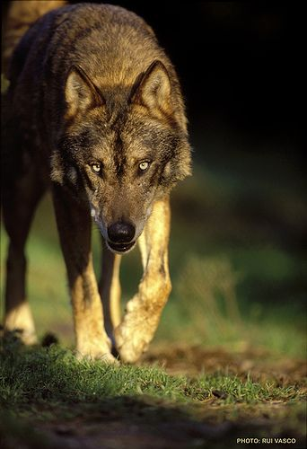 ☀Iberian Wolf by Luperca, via Flickr