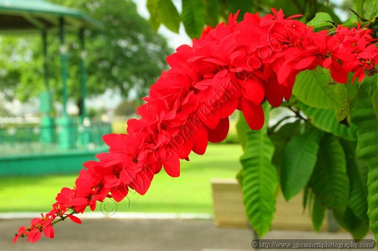 The National Flower of Trinidad & Tobago is the Chaconia