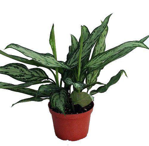 25 best ideas about low light houseplants on pinterest indoor solar lights indoor house plants and low light plants - Houseplants For Low Light