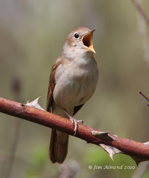 Shropshire Birder: Little Paxton - Nightingales!