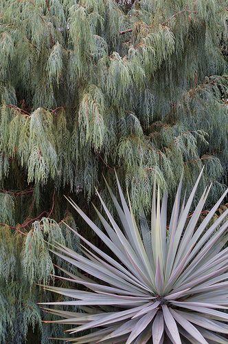 Cupressus cashmeriana and Yucca sp.