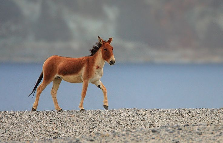 Tibetan Ass Beautiful Donkey Tibetan Wild Ass Known