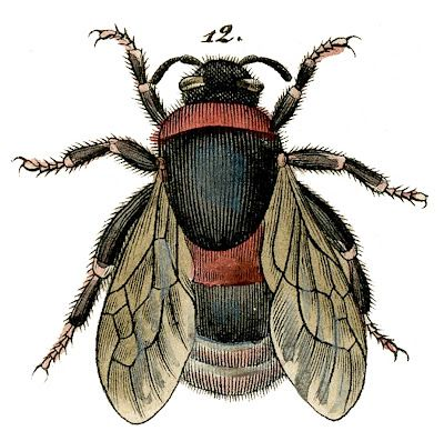 Click on Image to Enlarge This fabulous Antique Bee image is from a Circa 1843 Natural History Print! I'll be sharing the whole print at some point, but I wanted to enlarge a couple of the Bees and offer them separately first, because I think they are fun for so many projects. This one is...Read More »