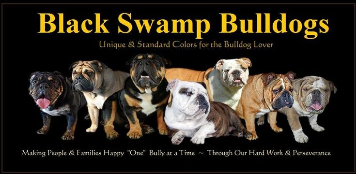 Our Black Swamp Bulldogs, Ohio Rare Bulldog Breeder, Black, Black & Tan, Blue, Chocolate, Tri Colored, Trindled, Sable, AKC English Bulldog Pup, English Bulldog Puppies