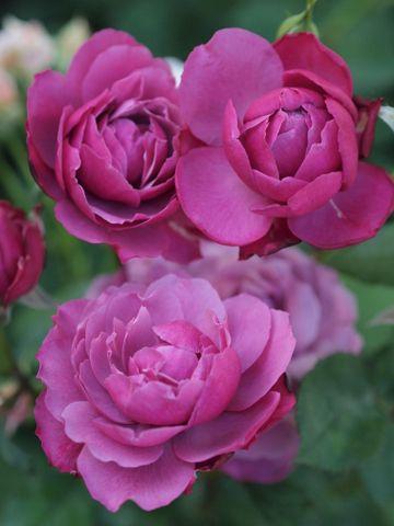 Shrub Rose: Rosa 'Cranberry Sauce' (Japan, 2013)