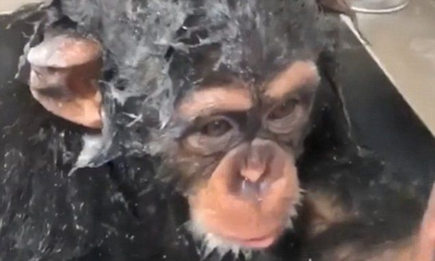 Chimp going bananas for a shower is the cutest thing you'll see today
