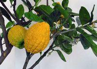 Bara nimbu - Le bara nimbu fait partie des plantes médicinales ayurvédique, il est l'ancêtre du citron communément nommé cédrat dû au parfum de l'écorce de son fruit qui ressemble à du cèdre, il est un antibiotique efficace contre les maladies respiratoires comme la bronchite. Le bara nimbu ou cit... http://www.complements-alimentaires.co/wp-content/uploads/2015/06/bara-nimbu_citrus_médica.jpg - Par Nathalie sur Compléments alimentaires  #Lesplantesdel