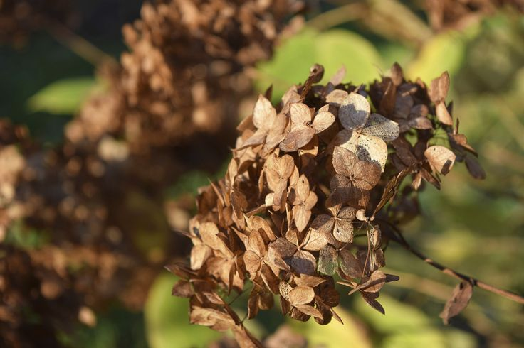 The process of removing fading blooms diverts the plant's energy from seed production to new growth. Hydrangeas especially benefit from deadheading, as long as a few simple rules are followed. To learn more about deadheading hydrangea blooms, click here.