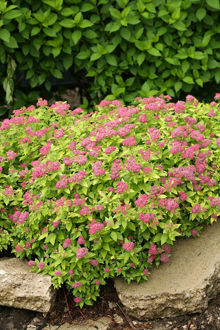 abundant pink flowers cover the compact gold leafed low mounded double play