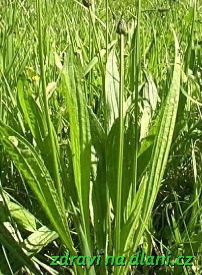 Léčivé rostliny - Jitrocel několik variant jitrocelového sirupu, rady pro sběr: