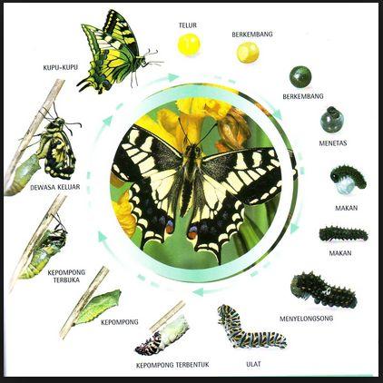 Belajar Biologi Online: Metamorfosis