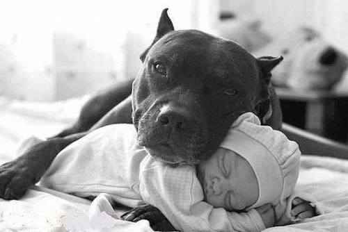 I hate how pit bulls are stereotyped as vicious and dangerous. Yeah, maybe they were originally bred for fighting, but I say this: they only know how to fight if you teach them. They only know how to love if you teach them.