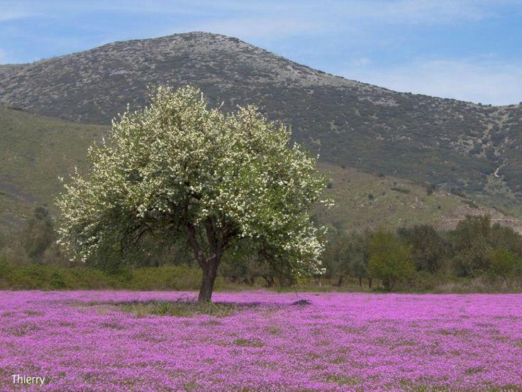 Olive tree, Greece