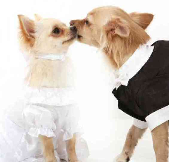 Pet Couture: Wedding Bells For Wonder Dogs  ... from PetsLady.com ... The FUN site for Animal Lovers