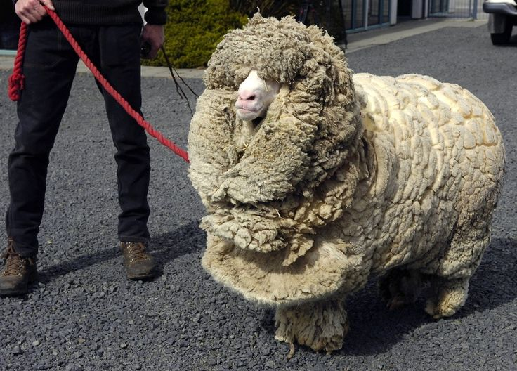 Shrek the sheep hid for 6 springs to avoid shearing. Crazy. He lived to 16. The commentary at this link is oddly evocative.