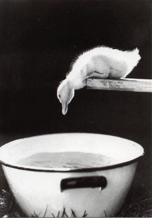 :): Ducky, Baby Ducks, Swim Pools, Leap Of Faith, Things, Birds, Inspiration Quotes, Black, Animal
