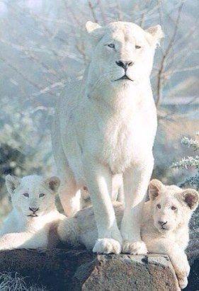 Белые львы.