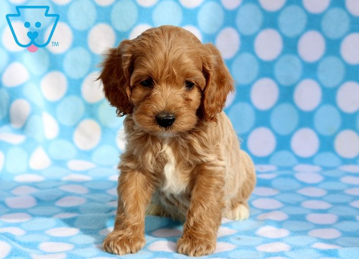 Cockapoo Puppies Croton Ohio Ideas