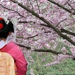 Okinawa Japan Cherry Blossoms