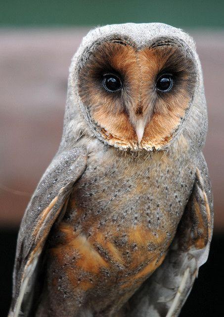 """Melanistic"" European Dark Breasted Barn Owl - Tyto alba guttata. Their faces look almost human to me."