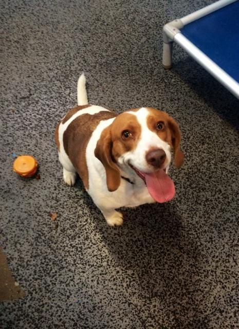 Dahlia - URGENT - ROYAL OAK ANIMAL SHELTER in Royal Oak, MI - ADOPT OR FOSTER - 4 year old Spayed Female Beagle