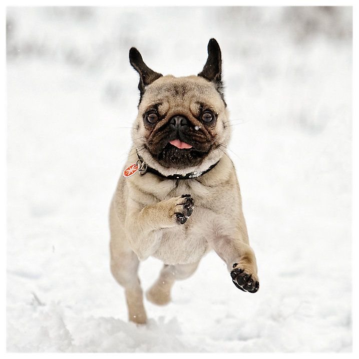 Snow Pug Christmas Cards Available At Www Ilovepugs Co Uk Post