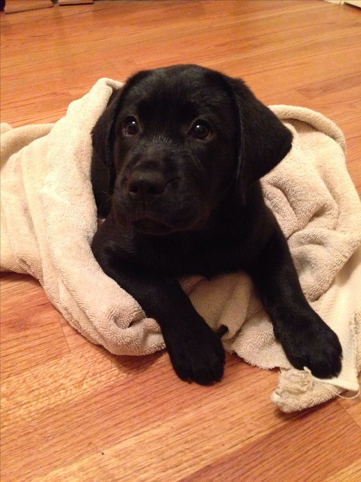 Bath time Adorable black lab puppy