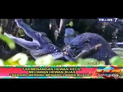 7 Pertarungan Binatang Buas vs Binatang Kecil On The Spot Trans 7