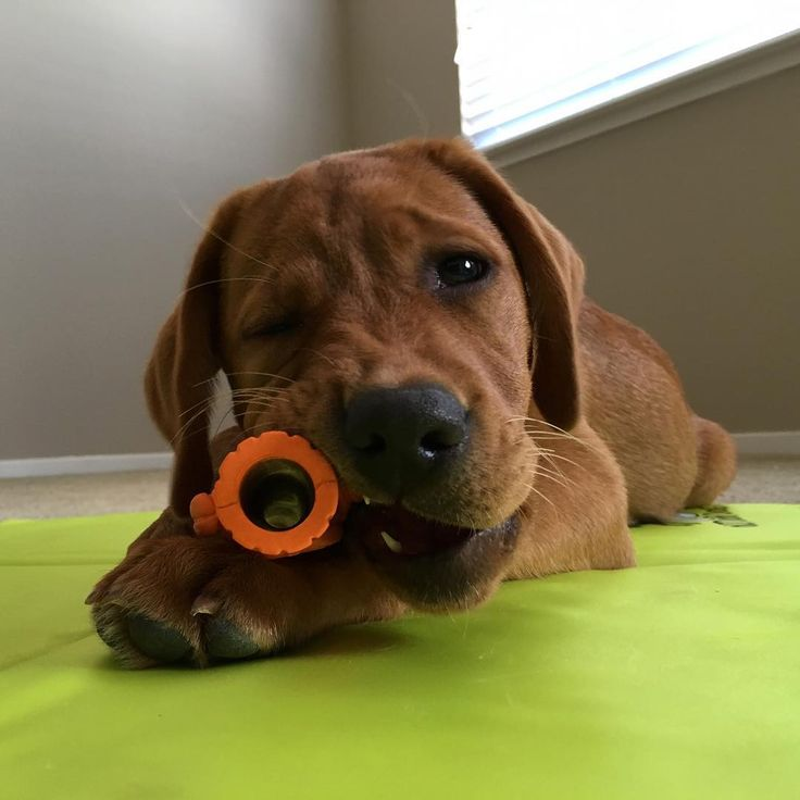 "141 Likes, 6 Comments - Maggie Mae The Fox Red Lab (@foxredmaggie) on Instagram: ""😉"""