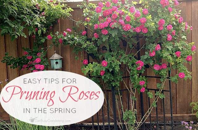 How To Prune Roses 4 Simple Steps To Trim Like A Pro Pruning Roses Trim Rose Bushes Roses Garden Care