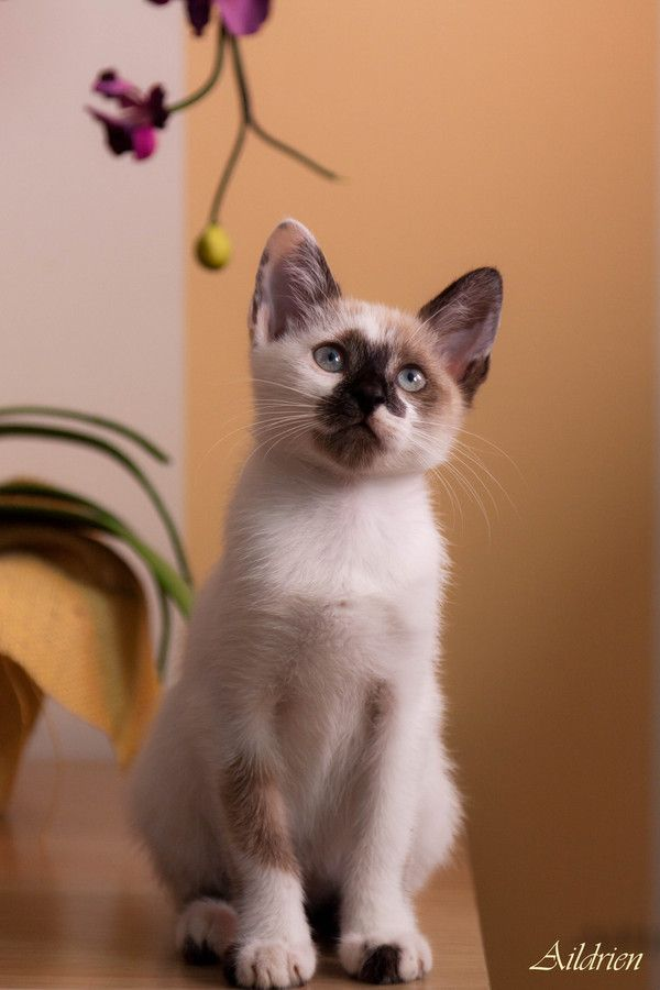 Ragdoll Or Siamese 17 Best images ...