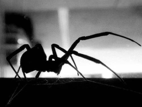 Black Widow #spider #blackandwhite #insect