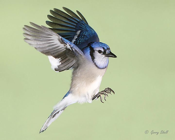 117 best images about Blue Jays:One of my favorites. Love ...