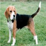 Las 10 Mejores Razas de Perros de Caza | Blog Perro-beagle