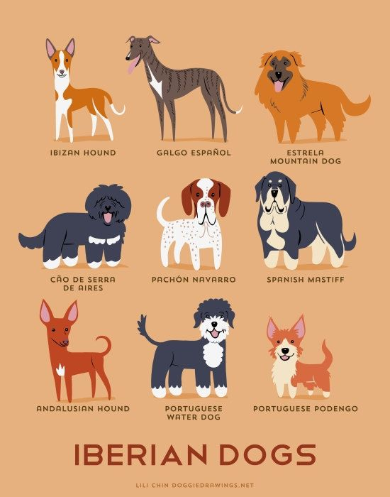 IBERIAN DOGS art print (dog breeds from Portugal and Spain)