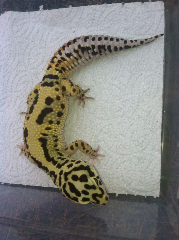 Emerald bandit leopard gecko produced by Anthony Conti of LeopardGeckoMorph.com