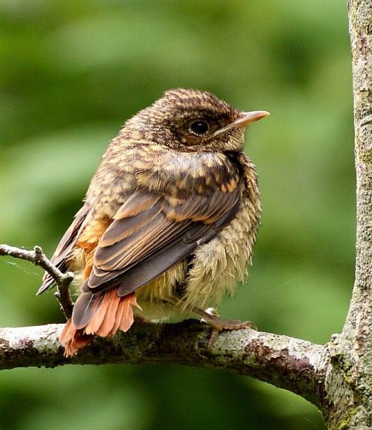 (Phoenicurus  phoenicurus) Rødstjert ~ Chick