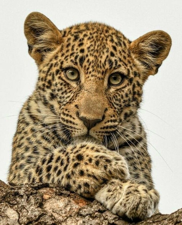 Natural born model. ~ETs #leopard