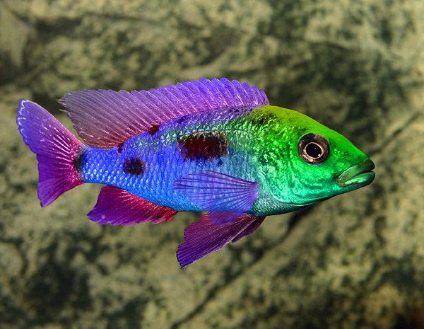 .Rainbow fish...