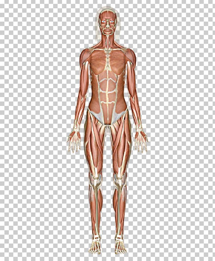The Muscular System Skeletal Muscle Human Body Png Muscular System Skeletal Muscle Human Body