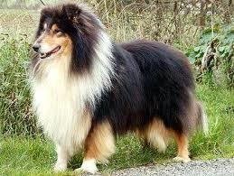 Didgie, chien Colley à poil long