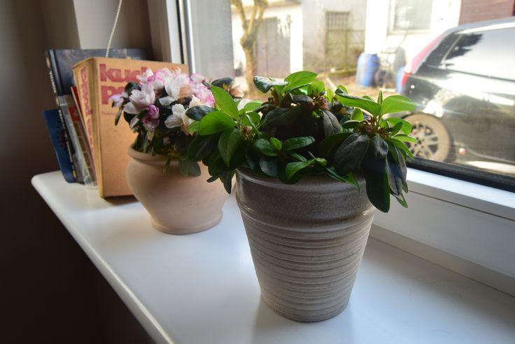 Azalia doniczkowa. #hydrobox #hydroboxpl #kwiaty #kwiat #kwiatydoniczkowe #wiosna #dom #dekoracje #inspiracje #diy #ideas