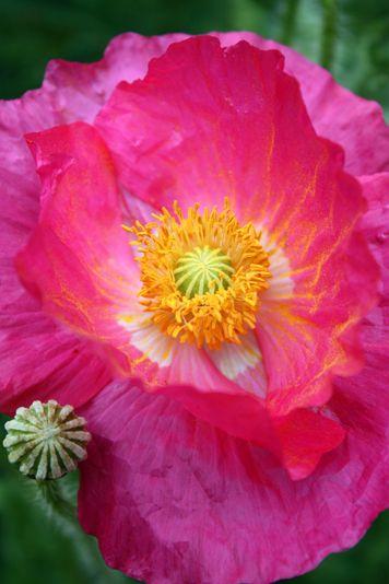 ~~Poppy by Jenny Ross~~