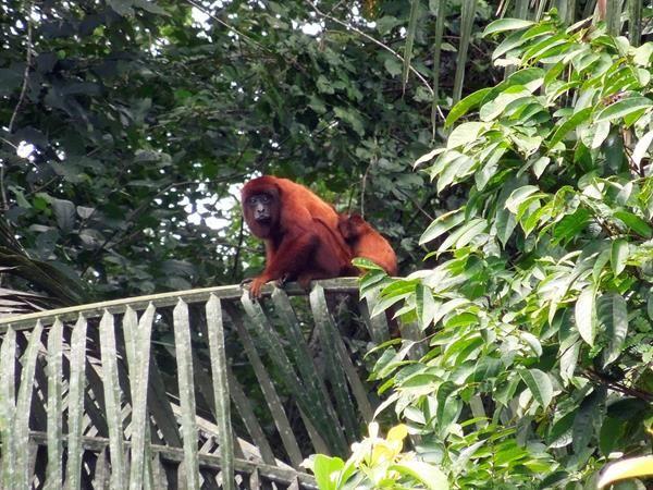 Krista Denninger, Howler monkey taken at Inkaterra Hacienda Concepcion