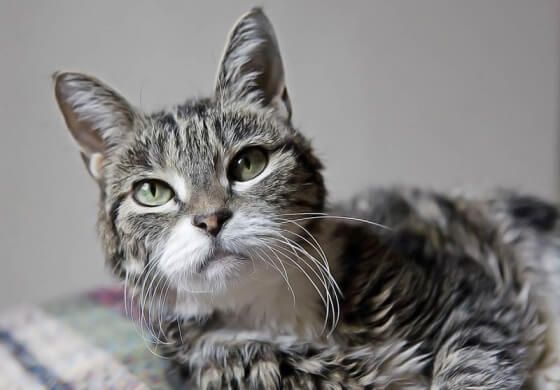Soigner naturellement l'arthrite du chat