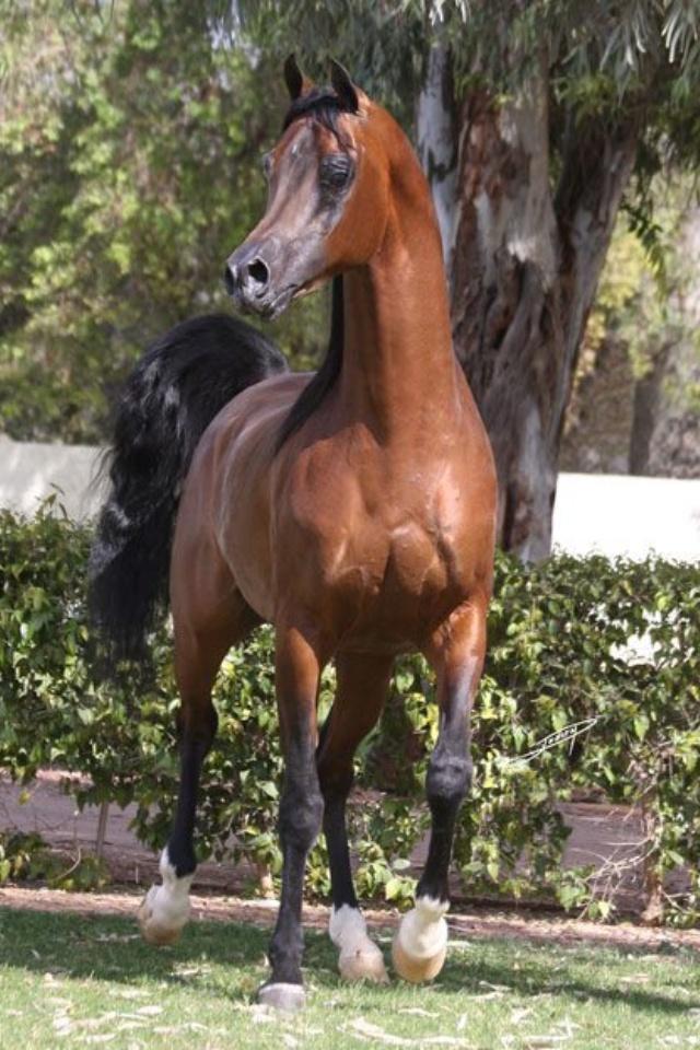 Davinci Fm 1999 Bay Arabian Stallion Versace X Full Moon