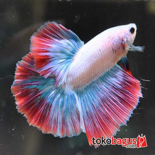 10 best images about beautiful bettas on pinterest for Best place to buy betta fish