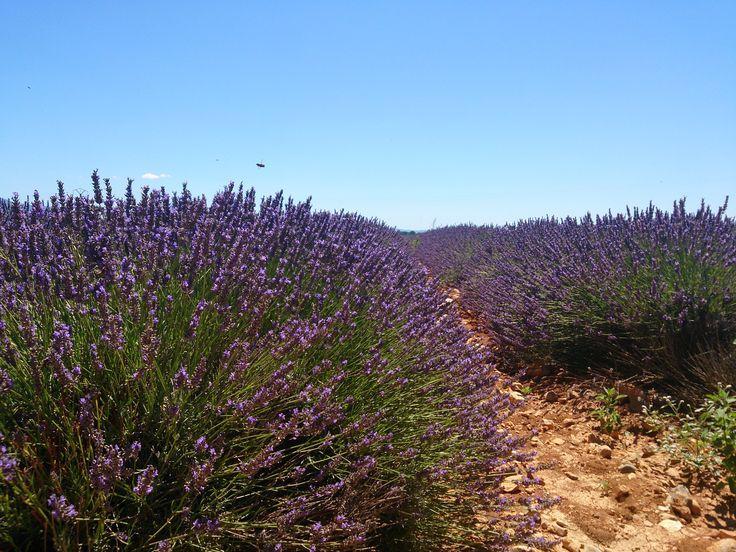 lavender route de lavande provence france