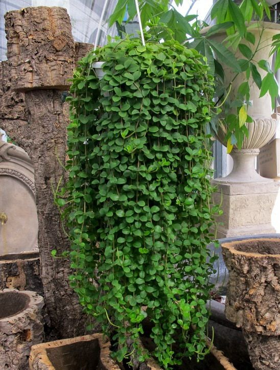 Peperomia rotundifolia, great hanging plant with succulent like leaves. Takes heavy sun, takes some drought (may drop a few leaves though), easy to keep alive. Just don't over water during winter.