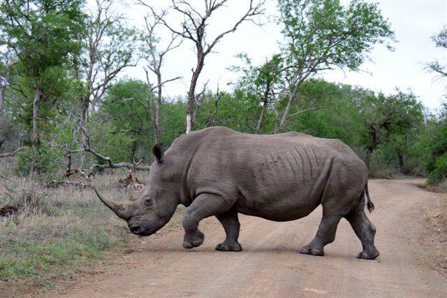 Rhino, Imfolosi Park, KZN, southAfrica